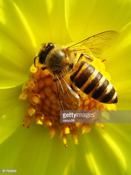 Honeybee on the flower stamen