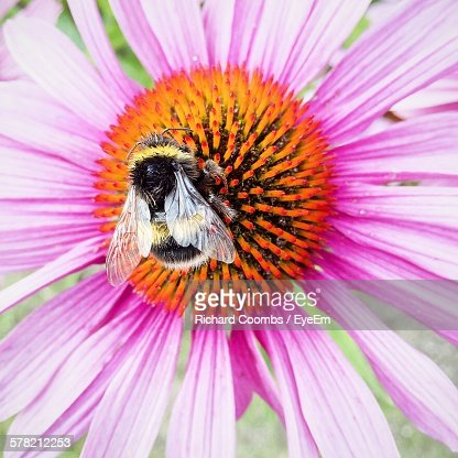 Honeybee Pollinating On Fresh Pink Black-Eyed Susan