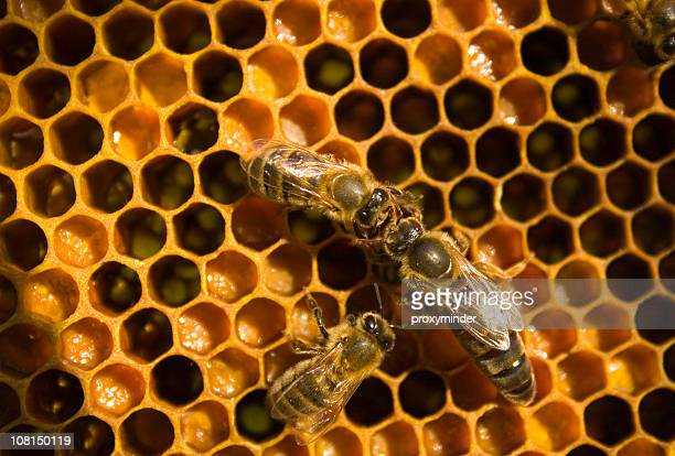 Honeybee with Queen Bee on Honeycomb