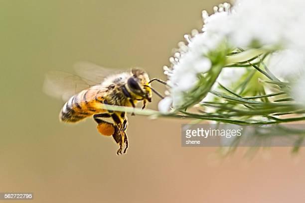 Honeybee's Flying around Carrot Flora.