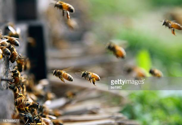 honeybees flying
