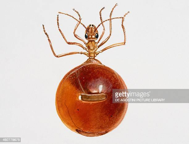 Honeypot ant Formicidae Artwork by Brin Edward
