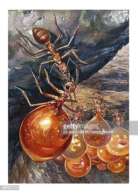 Honeypot ant or Honey ant illustration