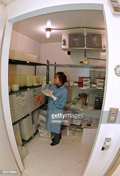 Hongyu Chen a lab technician for Sorenson Genomics places DNA samples in a large freezer for storage from victims of the last December's Indian Ocean...