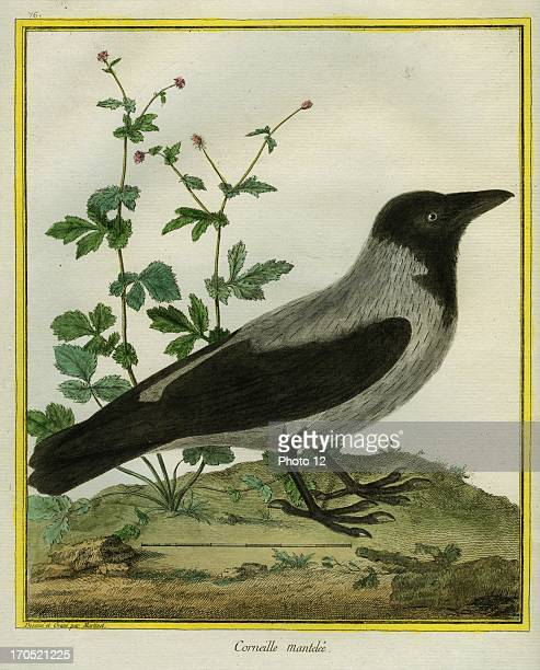 Hooded crow Corvus cornixHooded crowGeorgesLouis Leclerc Comte of Buffon 'Natural History of birds fish insects and reptiles' coloured and engraved...
