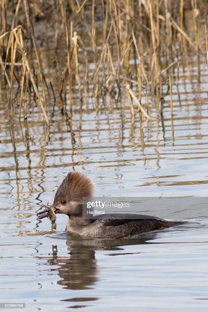 Hooded Merganser Duck ...