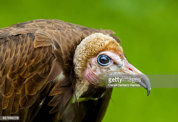 Hooded vulture headshot detailed view with green background. Necrosyrtes monachus
