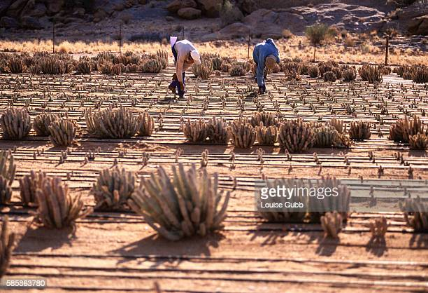 Hoodia plants are cultivated for trials for a new antiobesity remedy at a secret growing site in South Africa San Bushmen hunters traditionally ate...
