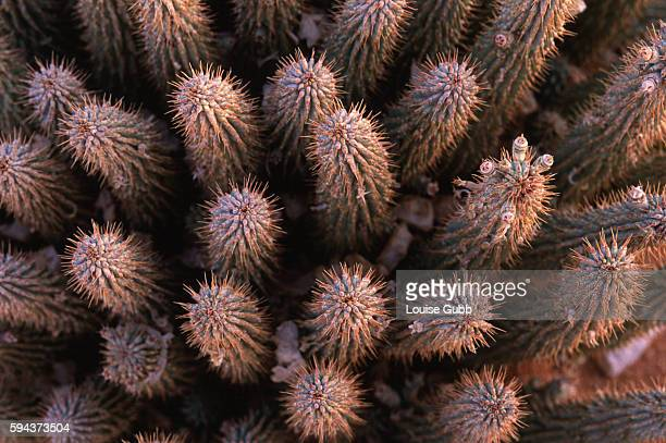 Hoodia plants at a secret Phytopharm growing site in South Africa The San Bushmen hunters traditionally chewed this plant to stave off hunger and...