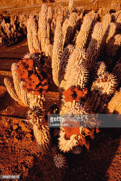 Hoodia plants in bloom at a secret growing site in South Africa Phytopharm UK and South Africa's CSIR are cultivating the cactus traditionally used...