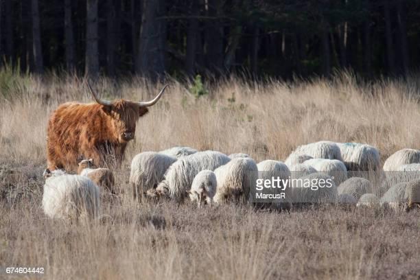 Hooglander bekijkt  kudde schapen