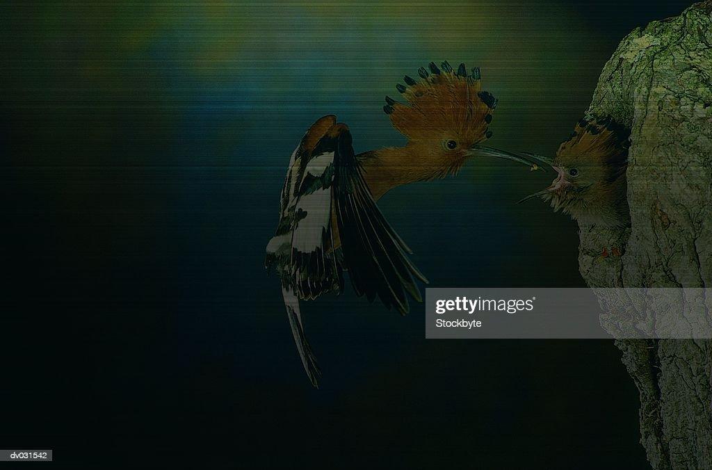 Hoopoe (upupa epops) in flight feeding bird in nest, South Africa