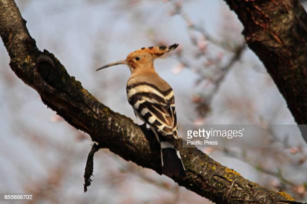 A hoopoe taking a rest on almond tree in almond garden in Srinagar Indian Controlled Kashmir on Monday March 20 2017 After the improvement in the...