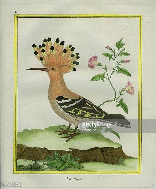 Hoopoe Upupa epopsHoopoeGeorgesLouis Leclerc Comte of Buffon 'Natural History of birds fish insects and reptiles' coloured and engraved by...