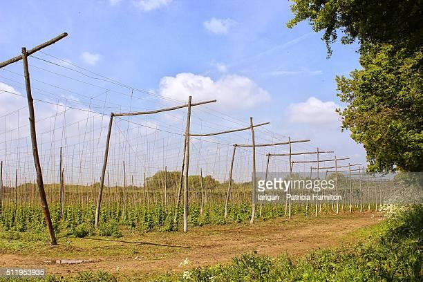 Hop garden in Kent, South East England