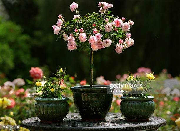 HOPixieRosesDB050199––YorbaLinda––Miniature roses in glazed clay pots at Pixie Treasures rose nursery at 4121 Prospect Yorba Linda In the large pot...