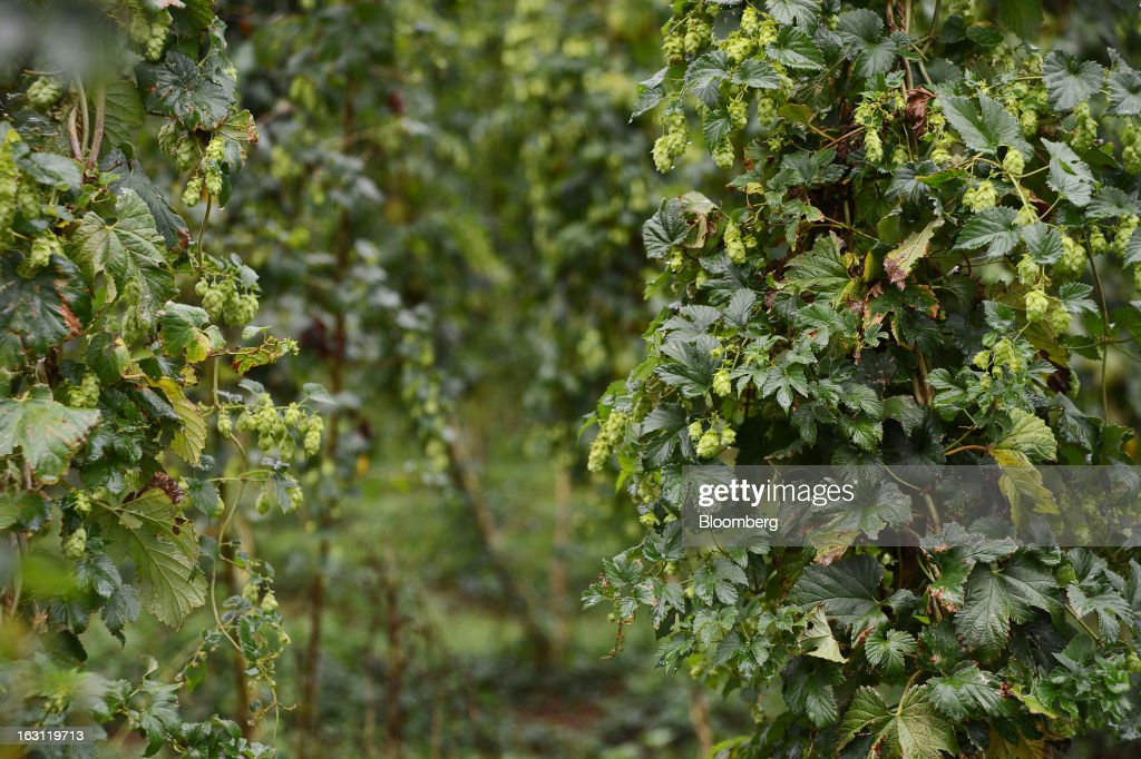 Hops grow on vines at Hops Products Australia's operations in Bushy Park, Tasmania, Australia, on Tuesday, Feb. 26, 2013. Australia's Bureau of Statistics is scheduled to release fourth-quarter gross domestic product figures on March 6. Photographer: Carla Gottgens/Bloomberg via Getty Images