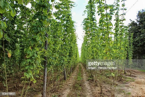 Hops growing in East Sussex