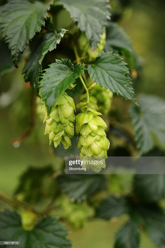 Hops near maturity as they grow on vines at Hops Products Australia's operations in Bushy Park, Tasmania, Australia, on Tuesday, Feb. 26, 2013. Australia's Bureau of Statistics is scheduled to release fourth-quarter gross domestic product figures on March 6. Photographer: Carla Gottgens/Bloomberg via Getty Images