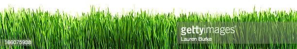 Horizontal green grass
