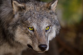 horizontal image with portrait and detail of a wolf