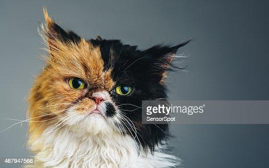 Horizontal Portrait of a Persian Cat