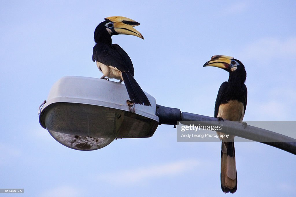 Hornbills : Stock Photo