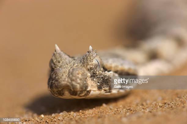 Horned Adders head (Bitis caudalis), Namib Desert, Namibia