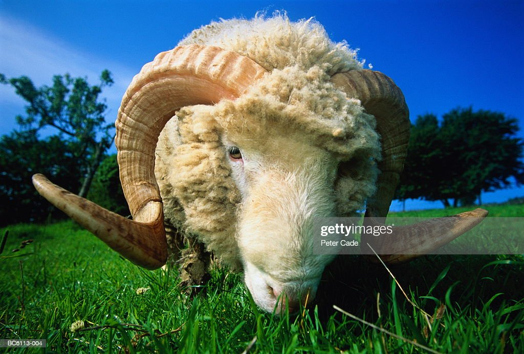 Horned Dorset ram in field, close-up (wide angle) : Stock Photo