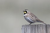 Male Horned Lark perched on a fence post