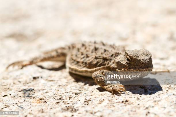 Horned Lizard with Bokeh
