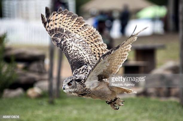 A horned owl flies during 'The Rand Show 2015' at the Nasrec Expo Center in Johannesburg South Africa on April 7 2015 The Rand Show also called the...