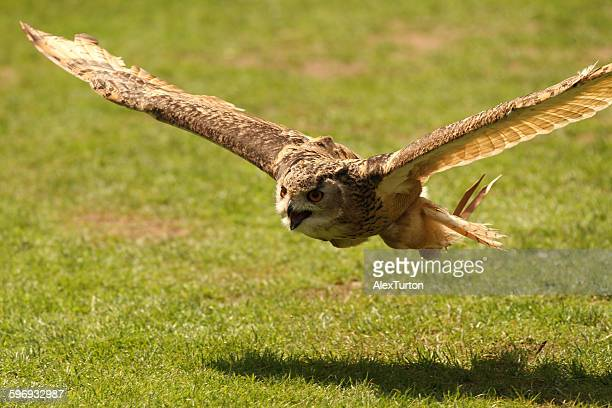 Horned owl in flight