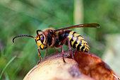 Hornisse Wespe Biene
