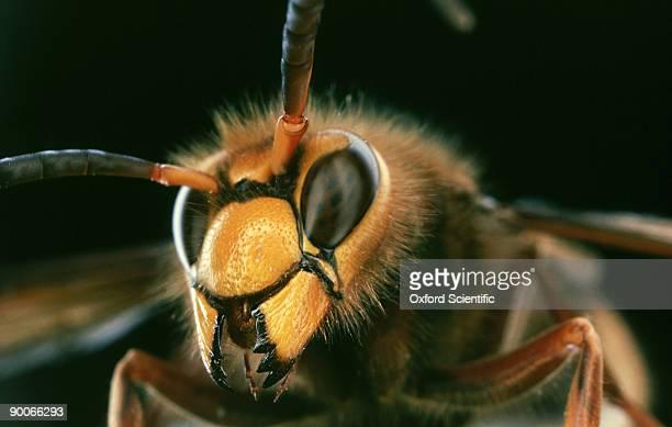 hornet: vespa crabro