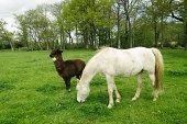 Horse and alpaca in a greenery