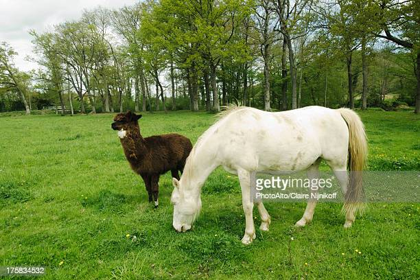 Horse and alpaca in a greenery