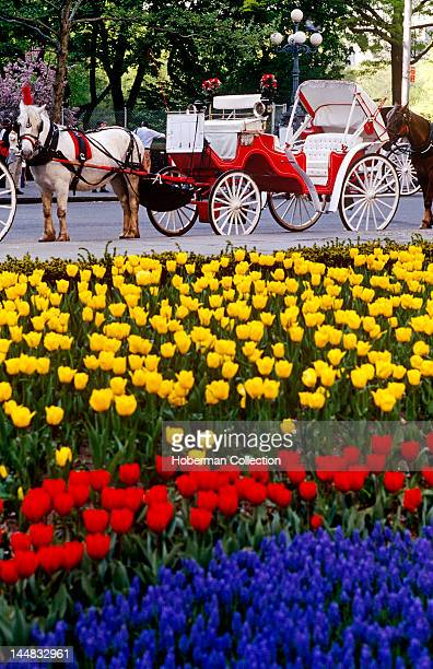 Horse and Cart with Colourful Tulips