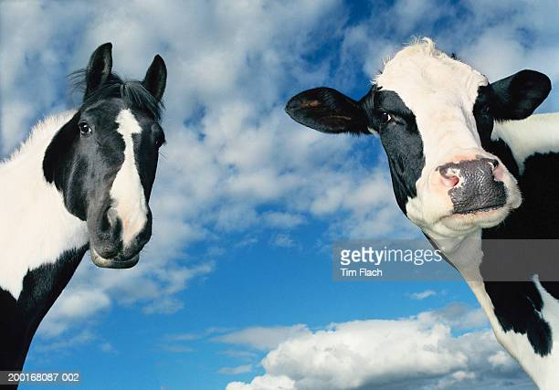 Horse and cow in field, ears pricked, close-up