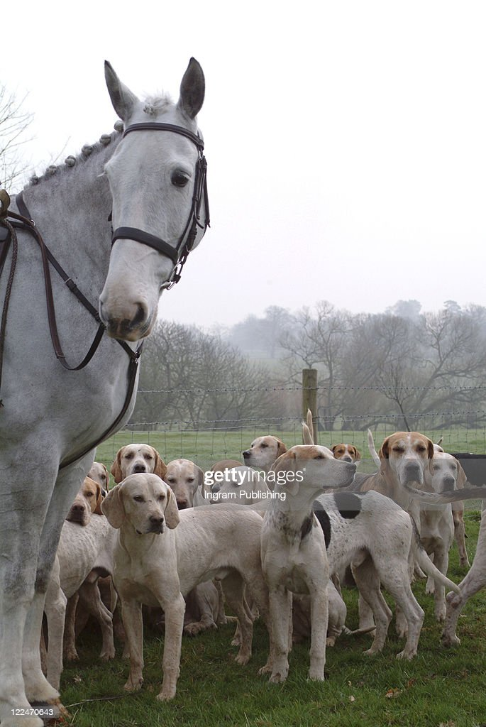 A horse and foxhounds
