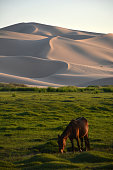 A horse eats grass at the foot of the Khongor Sand Dunes