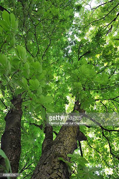 Horse Chestnut -Aesculus hippocastanum-, Oberrusselbach, Upper Franconia, Bavaria, Germany