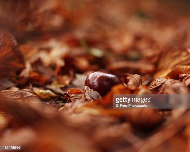 Horse Chestnut Leaves and Conker