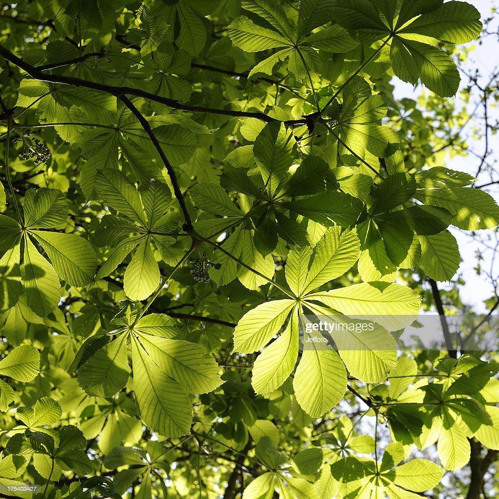 Horse Chestnut leaves