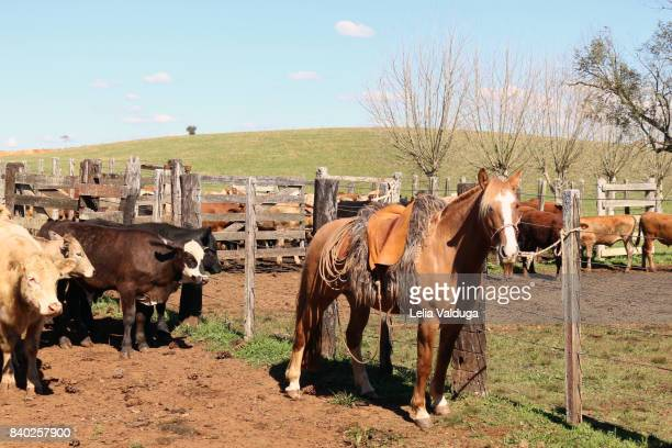 Horse Creole em cattle -  RS - Brazil