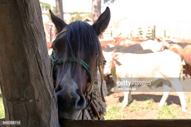 Horse Creole, the most popular breed of RS - Brazil