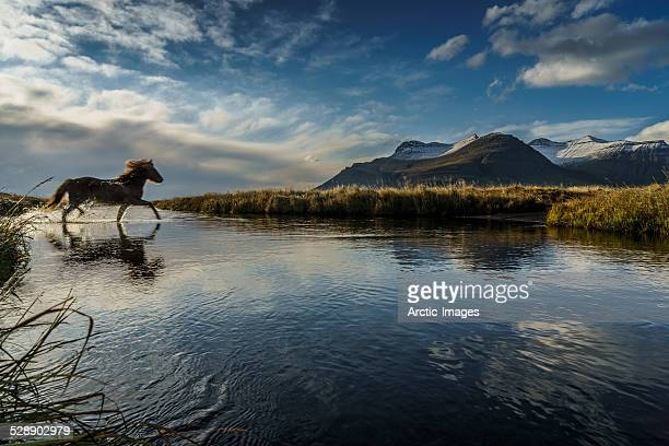 Horse crossing a river, Iceland