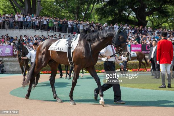 Horse Danburite being led around the paddock during Tokyo Yushun at Tokyo Racecourse on May 28 2017 in Tokyo Japan Tokyo Yushun Japanese Derby is the...