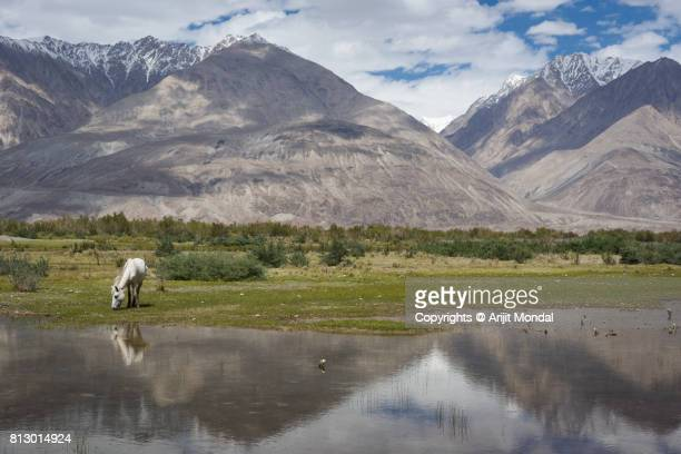 Horse drinking water in a lake, scenic view of lake with mountain and horse in Leh Ladakh, india
