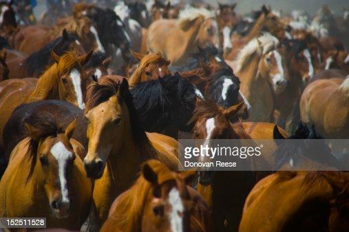 Horse drive, running horses : Stock Photo